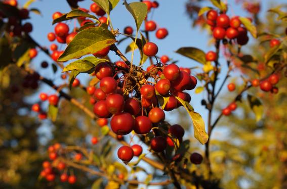 Wildapfelbaum